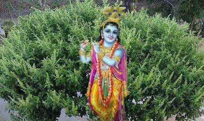 krishna-thulasi